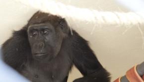 Gorila fêmea Lou Lou na quarentena do zoo. Foto Marcelo Malta (1)