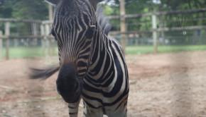 Filhote de zebra. Foto Daniel Alves 03-12-13